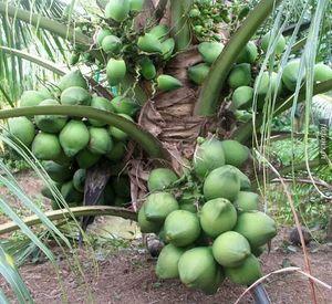 Coconut14   1
