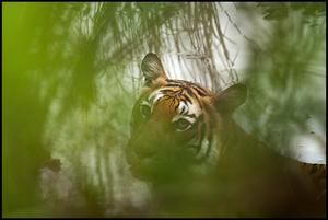 Tigress in waterhole
